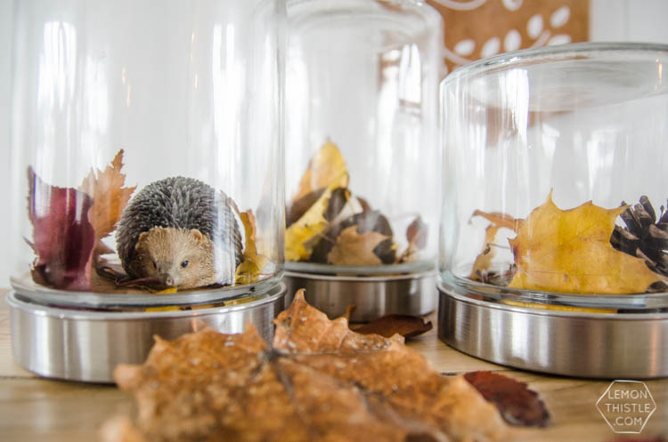 DIY Autumn Terrariums- I LOVE that there's no seasonal decor to store with these! Such a clever use of materials and pretty for fall decor.