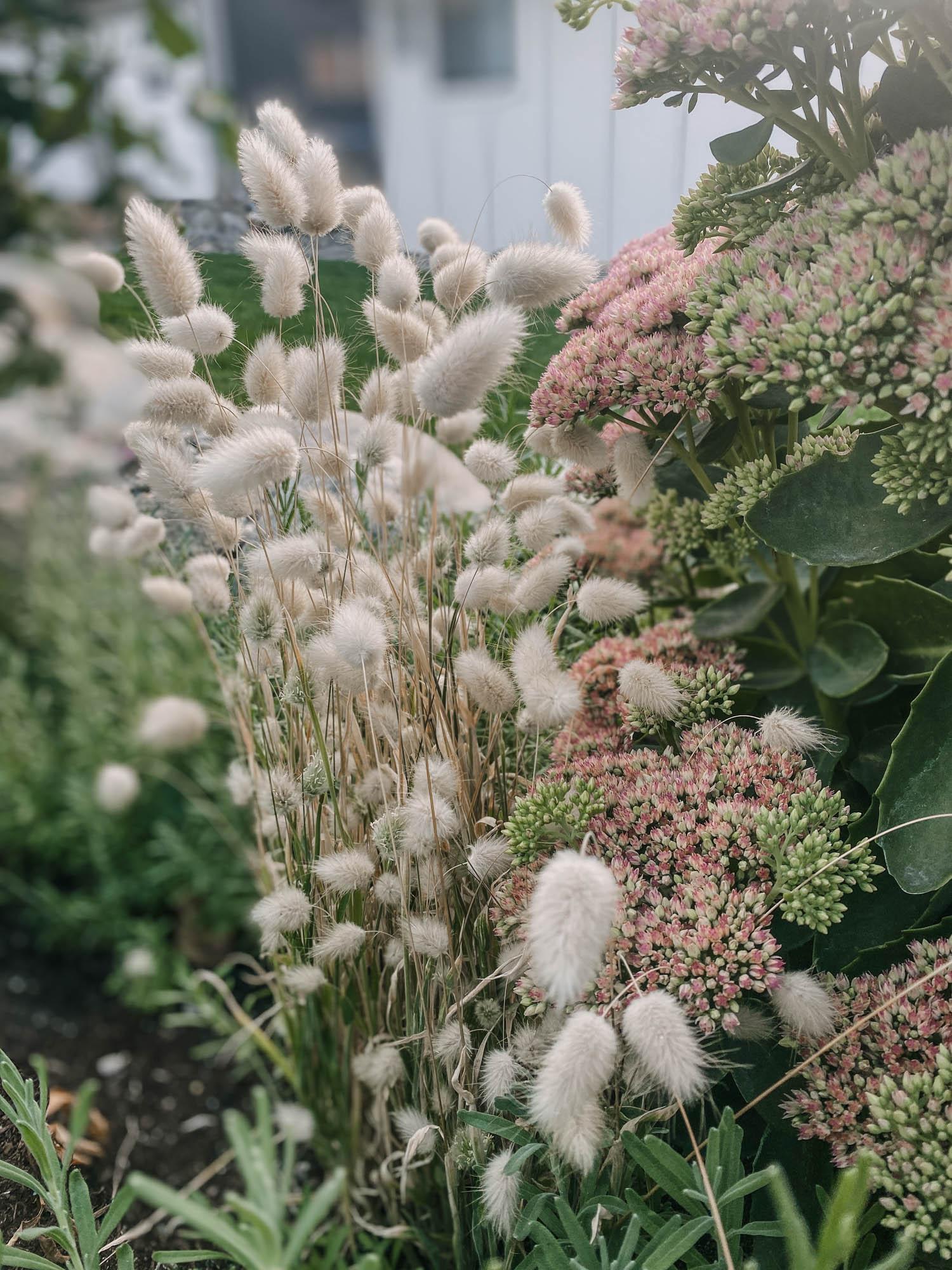 Grow bunny tail grasses