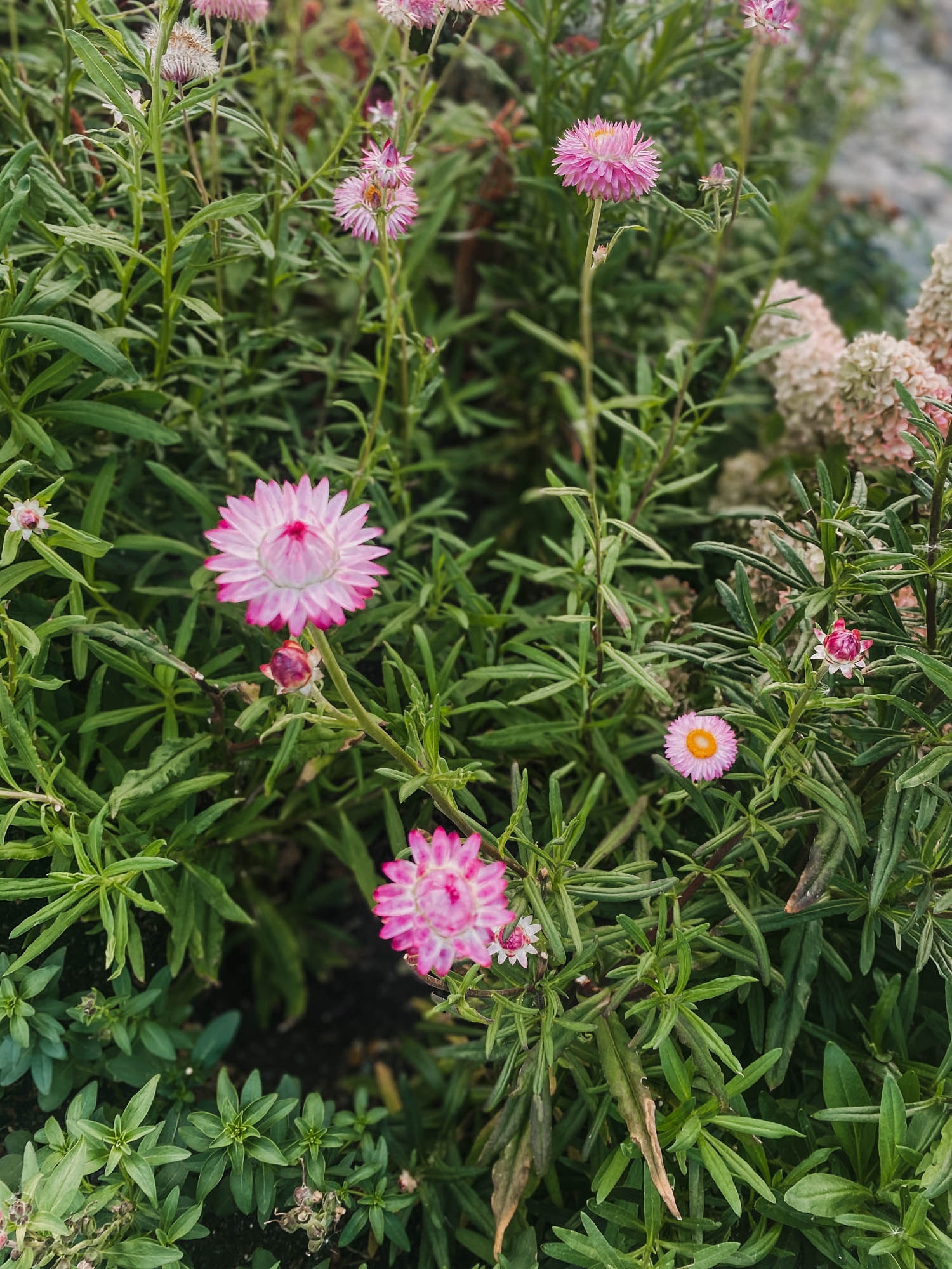 Strawflowers for cut flowers and drying